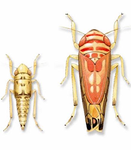 Emergence des cicadelles de la flavescence dorée
