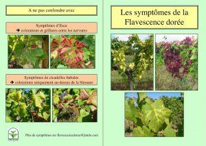 Plaquette sur les symptômes sur les raisins de table