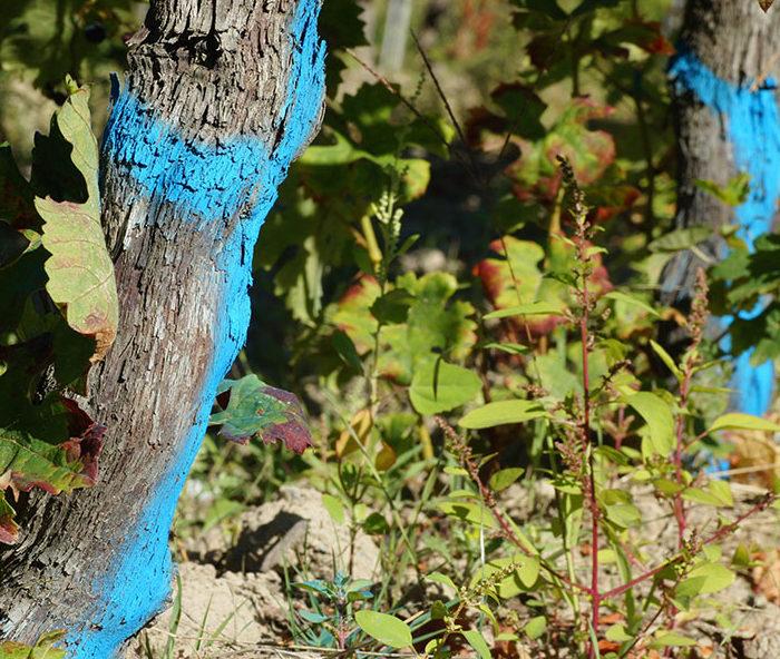 marquage cep de vigne en bleu